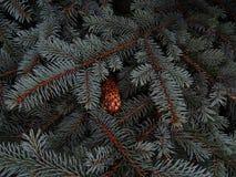 在冷杉分支特写镜头的湿杉木锥体 免版税图库摄影