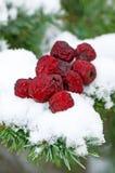 在雪的干燥山楂 免版税图库摄影