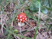 在冷杉木下的红热伞形毒蕈 免版税库存照片