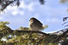 在冷杉木中分支一个小蓬松团-麻雀 库存图片