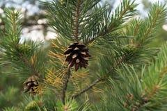 在冷杉木分支的锥体 免版税库存照片