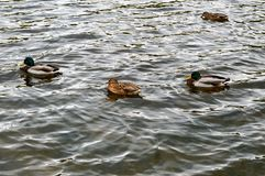 在冷水的四只鸭子游泳 免版税图库摄影