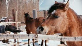 在冷淡的晴朗的天气,马被对待了对食物 影视素材