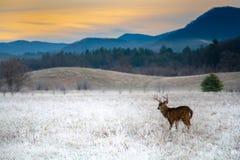 在冷淡的领域的白被盯梢的鹿大型装配架 免版税库存图片