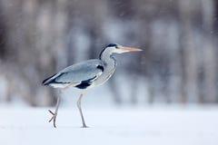 在冷的冬天期间,在白色雪风的灰色苍鹭 从挪威自然的野生生物场面 与鸟的雪风暴 与雪的苍鹭在 库存照片