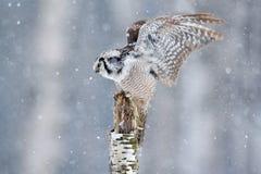 在冷的冬天期间,在飞行的鹰猫头鹰与雪花 从自然的野生生物场面 与飞行鸟的风暴 与开放翼的猫头鹰从Fi 免版税图库摄影