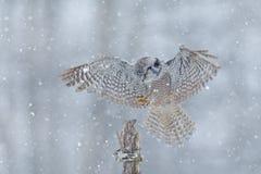 在冷的冬天期间,在飞行的鹰猫头鹰与雪花 从自然的野生生物场面 与飞行鸟的风暴 与开放翼的猫头鹰从Fi 库存图片