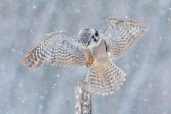 在冷的冬天期间,飞行与雪剥落的鹰猫头鹰 在树干的猫头鹰着陆 冷的冬天在芬兰 从自然的野生生物场面 库存照片