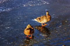 在冷的冰的两只美丽的鸭子野鸭在w的水附近 图库摄影