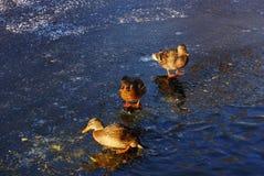 在冷的冰的两只美丽的鸭子野鸭在w的水附近 库存图片
