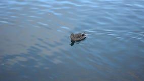 在冷的港口海水的美好的女性野鸭鸭子游泳 股票录像