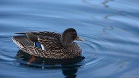 在冷的港口海水的美好的男性野鸭鸭子游泳 股票录像