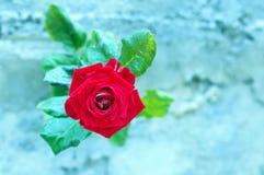在冷的空间的红色玫瑰 图库摄影