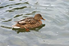 在冷水10的美丽的鸭子 库存图片