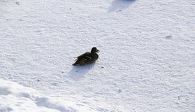 在冻池塘的鸭子在多雪的公园 免版税库存图片