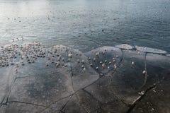 在冻河,冰冷的天气的海鸥 免版税库存图片