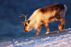 在冻海的极性驯鹿斯瓦尔巴特群岛的 免版税库存照片