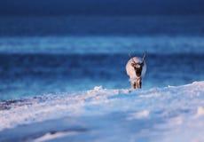 在冻海的极性驯鹿斯瓦尔巴特群岛的 免版税图库摄影
