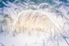 在冻湖的冬日有干燥芦苇草的 库存照片