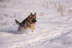 在冻湖的阿尔萨斯狗 库存照片
