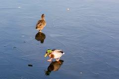 在冻湖的鸭子 库存照片