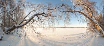在冻结冬天湖的银行的结构树。 图库摄影