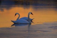 在冻结湖的天鹅 图库摄影
