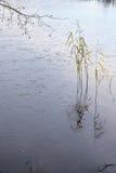 在冻结湖的藤茎 免版税图库摄影