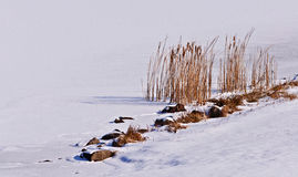 在冻结湖的香蒲 免版税库存图片