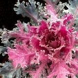 在冻雨以后的开花的无头甘蓝 免版税图库摄影