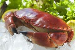 在冰的煮熟的螃蟹 图库摄影