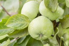 在准备好的分支的绿色苹果被收获,户外,选择聚焦 苹果绿的结构树 库存照片