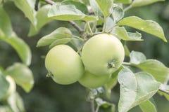 在准备好的分支的绿色苹果被收获,户外,选择聚焦 苹果绿色结构树 免版税图库摄影