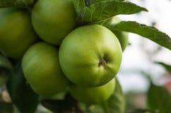 在准备好的分支的绿色苹果 免版税库存图片