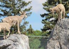 在准备好的岩石的山绵羊跳跃 免版税库存图片