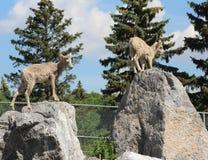 在准备好的岩石的山绵羊跳跃 图库摄影