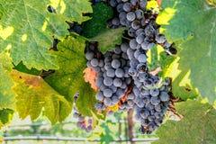 在准备好的藤的加伯奈葡萄酒葡萄在纳帕谷收获 免版税库存图片