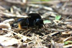 在凉快的姿势车手的土蜂 免版税库存图片