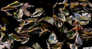 在凉快的黑水的下落的叶子 背景 图库摄影