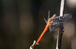 在凋枯的分支的橙色蜻蜓 免版税库存照片