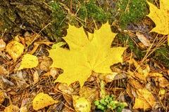 在凋枯的叶子背景的秋天黄色枫叶  库存图片