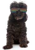 在减速火箭的彩虹太阳镜的长卷毛狗 免版税库存照片