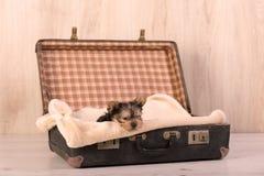 在减速火箭的手提箱的约克夏狗 免版税库存照片