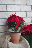 在减速火箭的罐的圣诞节一品红在砖墙背景 免版税库存照片