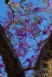 在凤凰木的印象紫罗兰色花 免版税库存图片