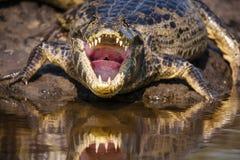 在凯门鳄的嘴和喉头下的神色 免版税库存照片