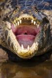 在凯门鳄的嘴和喉头里面的特写镜头 免版税库存图片