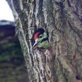在凹陷的一只啄木鸟 库存图片