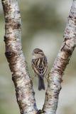 在分叉的树枝栖息的麻雀 库存图片