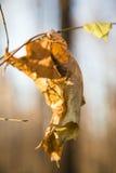 在分支关闭的偏僻的干燥黄色叶子 免版税库存照片